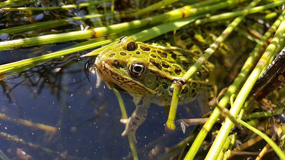 Northern-leopard-frog---Clgy-Zoo
