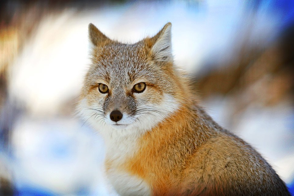 Swift-fox-Sergei-Belski-Calgary-Zoo