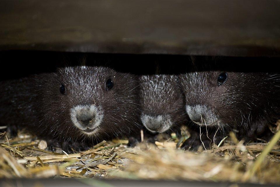 Vancouver-Island-marmot-ClgyZoo